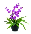 Europalms orchid, purple, 80cm    82530337